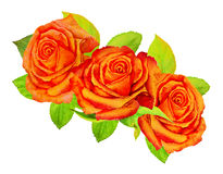 Three orange roses with green foliage on a white background - watercolor painting Stock Photo