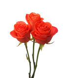 Three orange roses Royalty Free Stock Photos