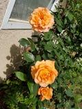 Three orange roses royalty free stock images