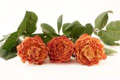 Three orange roses Royalty Free Stock Photography