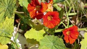 Tropaeolum majus - Nasturtium, Indian Cress - wild flowers in nature. Three orange Tropaeolum majus - Nasturtium, Indian Cress - wild flowers in nature stock video