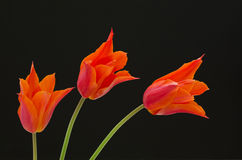 Three orange tulips Stock Photo