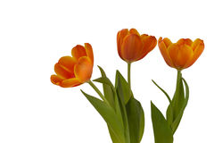 Three orange tulips on a white background Royalty Free Stock Photography