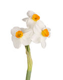 Three orange-and-white flowers of a tazetta daffodil Royalty Free Stock Photo