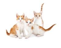 Three Orange and White Kittens Looking Forward Stock Photo