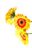 Three orange yellow gerbera flower Stock Photo