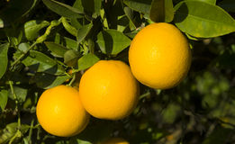 Three Oranges. On branch in late afternoon sun royalty free stock images