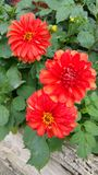 Three orangey red dahlia heads Stock Photo