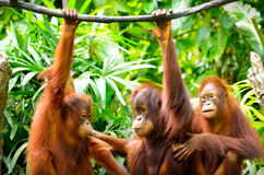 Three orangutans Stock Image