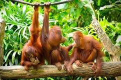 Three orangutans Royalty Free Stock Images