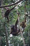Three Orangutans hanging in trees Royalty Free Stock Photos