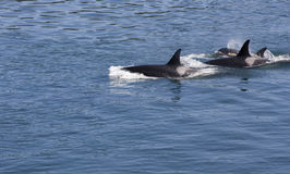 Three Orcas. Also known as killer whales, of the resident J pod, swim in the blue waters of British Columbia, Canada Stock Images
