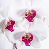Three Orchid Flowers Stock Photo