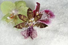 Three orchid flowers in the snow Stock Image