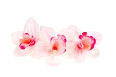 Three orchids. Royalty Free Stock Photo
