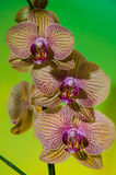 Three orchids over green Royalty Free Stock Image