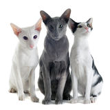 Three oriental cats Royalty Free Stock Images