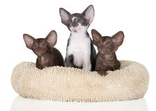 Three oriental kittens Stock Images