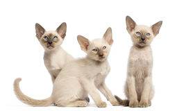 Three Oriental Shorthair kittens sitting Stock Photo
