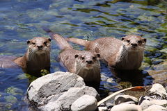 Three oriental small clawed otters Royalty Free Stock Photos