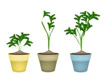 Three Ornamental Plants in Ceramic Flower Pots Royalty Free Stock Image