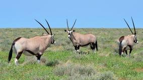Three oryx gazelle Stock Photography