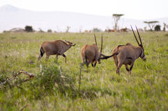 Three oryx grazing in the savanna. Of West Tsavo Park in Kenya Royalty Free Stock Photography