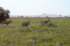 Three oryx grazing in the savanna. Of West Tsavo Park in Kenya Stock Photography