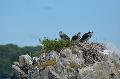 Three Ospreys Perched on a Nest in Maine Royalty Free Stock Images