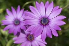 Three Osteospermum Ecklonis - Pink / Purple Colour Stock Photography