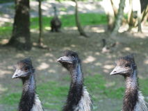 Three ostrich Royalty Free Stock Image