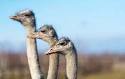 Three ostrich on the farm. The photo shows the head and neck ostriches Stock Photo