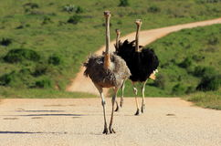 Three ostrich running up the road