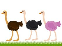 Three Ostriches On Green Grass Stock Photo