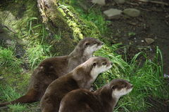 Three Otters. Stock Images