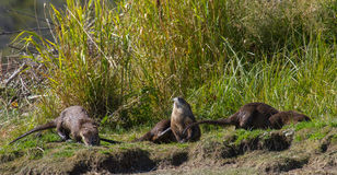 Three otters relaxing Stock Image