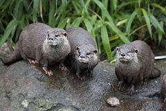 Three otters. Sitting by the water Stock Photo