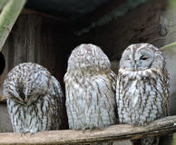 Three owl Royalty Free Stock Photos
