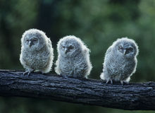 Three owlets on bough Royalty Free Stock Photo