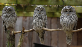 Three owls on a branch next to each other Stock Image