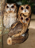 Three Owls. In Khao Kheow open Zoo Chonburi ,Thailand Stock Image