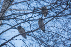 Three owls sitting on tree branch stock images