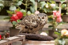Pharaoh Eagle Owl . Three owls are taking a nap and are cute Stock Photos