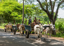 Three oxen carts on the road. Royalty Free Stock Image
