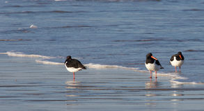 Three Oystercatchers Royalty Free Stock Photos