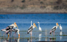 Three Painted Storks Royalty Free Stock Image