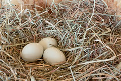 Three Pale Green Eggs In Hay. Three fresh pale green eggs from Amerucana chickens nestled in grass hay stock photos
