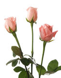 Three pale roses Stock Images