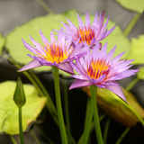 Three pale violet water lilies Stock Photo