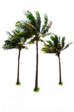 Three palm and Coconut  trees Royalty Free Stock Photo